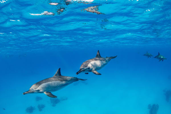 Spinner Dolphins is a fine art photograph available for sale.