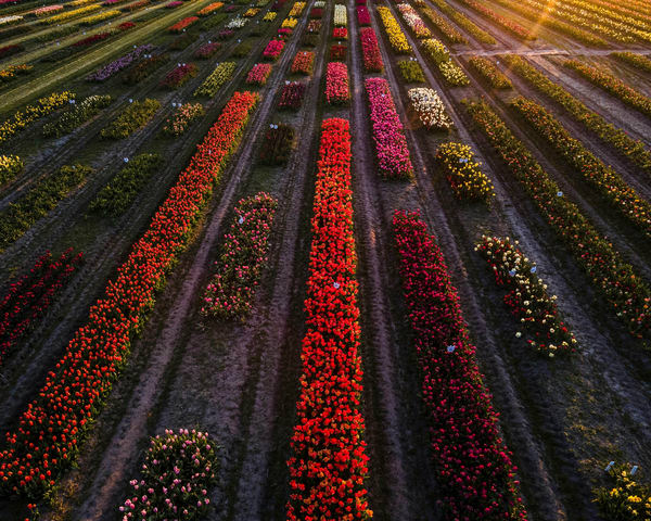 Tulip fields in Holland Michigan