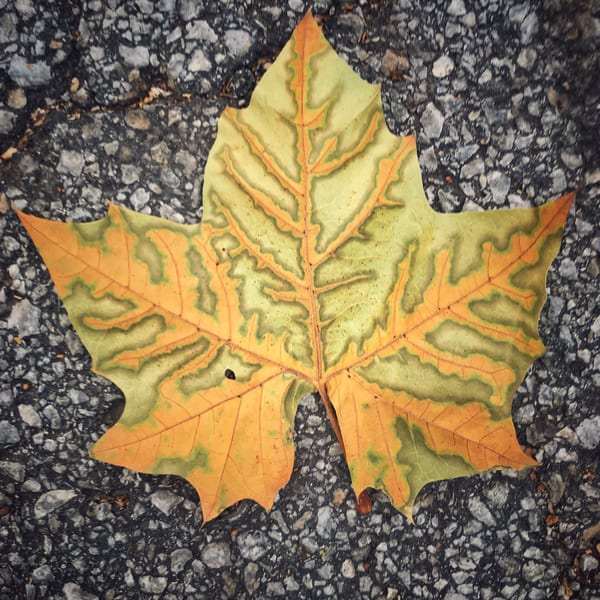 Gold-green, sycamore-leaf, nature, fall