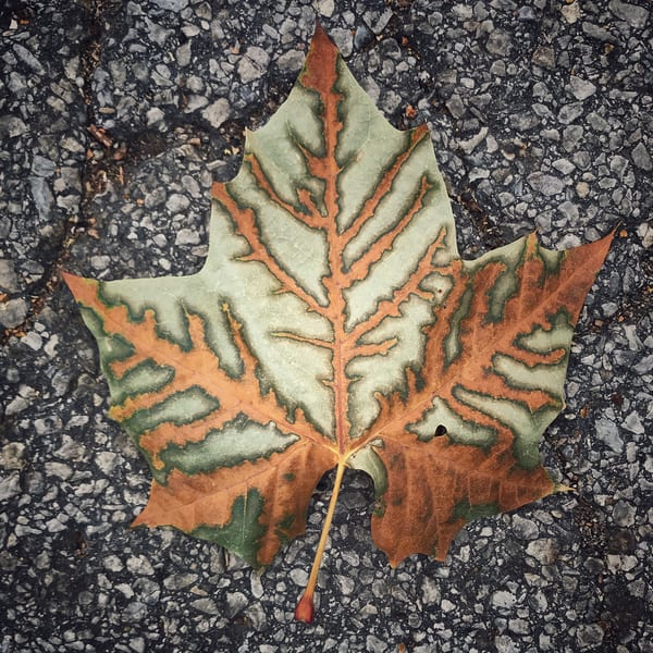 Copper-green, sycamore-leaf, nature, fall