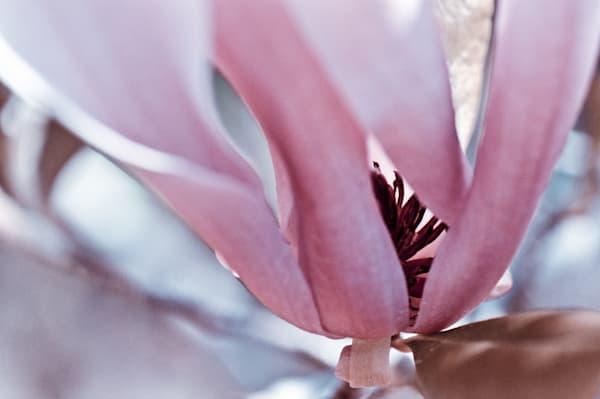 Pink Magnolia No. 1 Art | Anna Jaap Studio