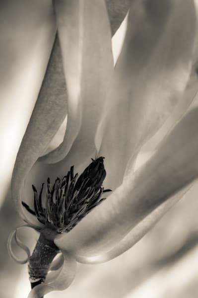 Star Magnolia   Black And White Art | Anna Jaap Studio