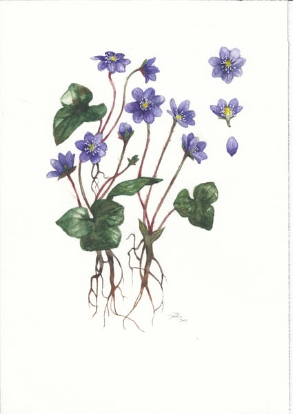 Anemone Hepatica 2020 Art | Cool Art House - online art gallery with hip emerging artists. Collect cool art you can view on your own wall before you invest!