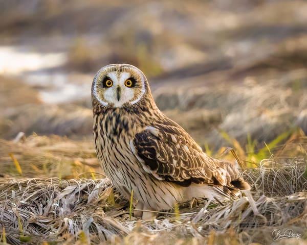 Short Eared Owl Portrait II