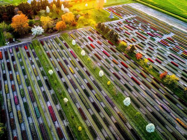 Tulip Fields in Holland Michigan