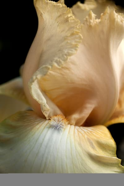 Tall Bearded Iris Photography Art | Christopher Grey Studios