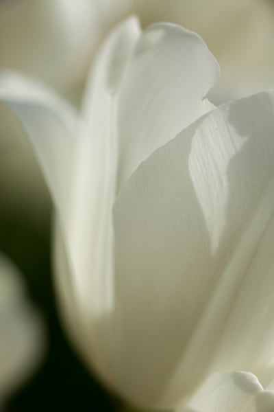 Tulip 7894 Photography Art | Christopher Grey Studios