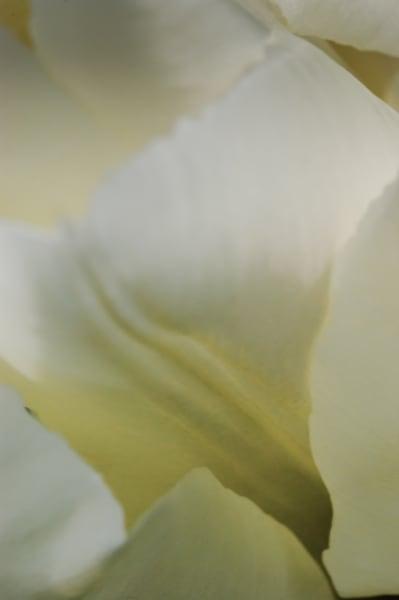Tulip No. 2 Art | Anna Jaap Studio