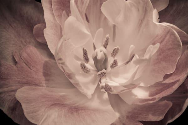 Tulip Portrait (Pink) Art | Anna Jaap Studio