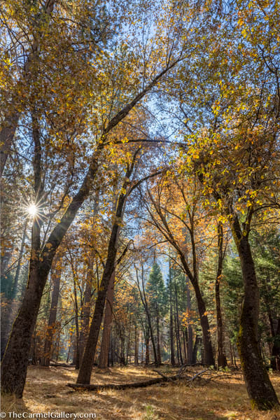 Autumn Oaks, Yosemite Art | The Carmel Gallery