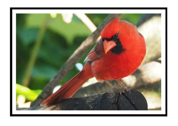 Cardinal Posing Greeting Card