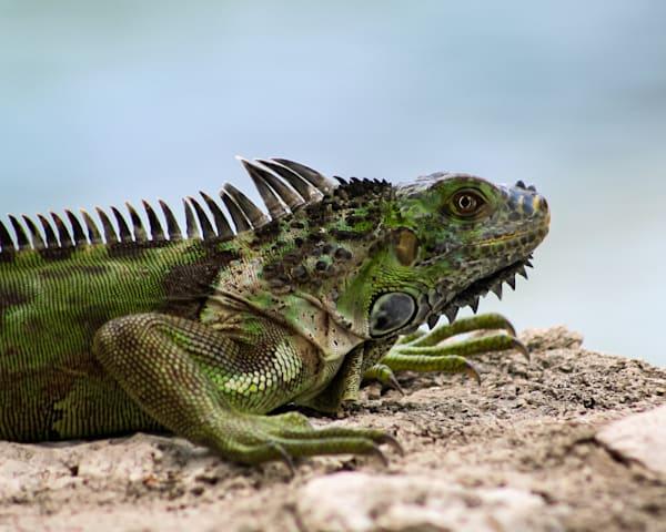 Iguana 2 Art | Thriving Creatively Productions