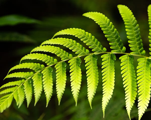 Fern Leaves Art   Thriving Creatively Productions