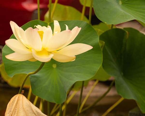 Yellow Lily Art | Thriving Creatively Productions