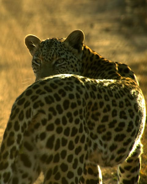 Leopard  Art | Thriving Creatively Productions