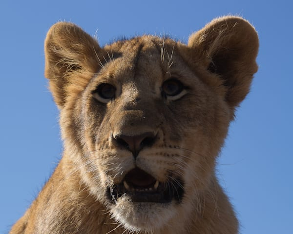 Lion Cub 1 Art | Thriving Creatively Productions