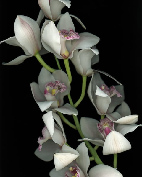 White Orchid Blooms Art | Thriving Creatively Productions