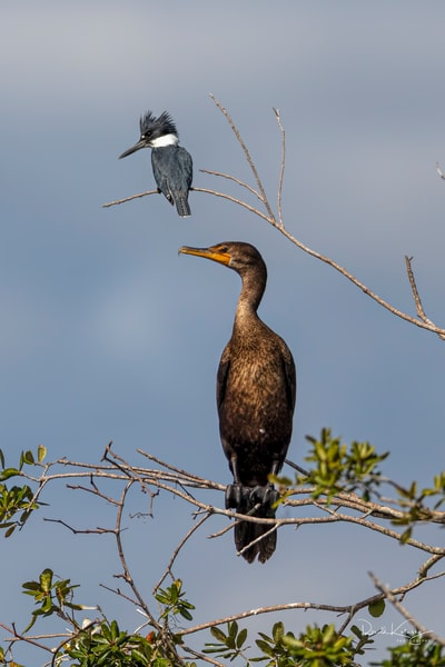 The Kingfisher and the Cormorant