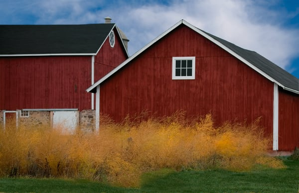 Yellow Bushes On A Red Barn Day Art | Mark Stall IMAGES