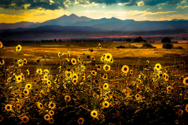 Rocky Mountain Sunflowers Photography Art | Colorado Born Images