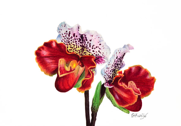 Slipper Orchid Art | victoriabishop.art