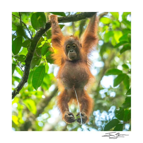 Live Streaming Borneo 2020 (Square) Photography Art | Tim Laman