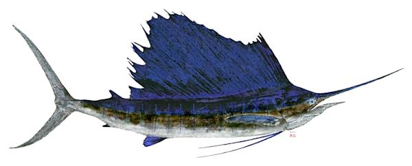 Sailfish