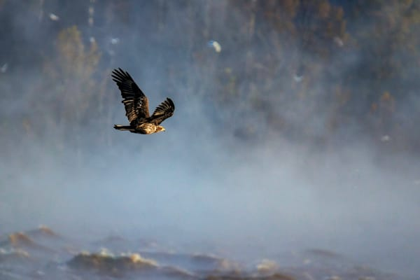 American Bald Eagle Photography Art | Cooper Captures Gallery
