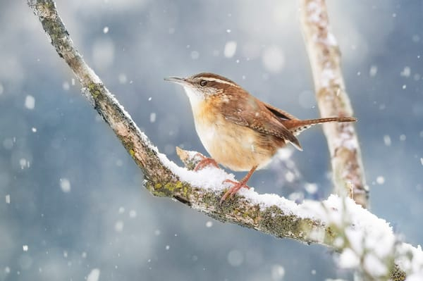 Carolina Wren 1 Photography Art | Deb Little Photography