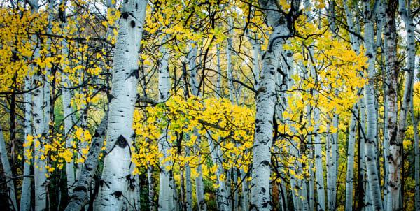 Golden Trees Photography Art | Colorado Born Images