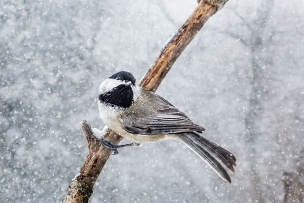 Chickadee 1 Photography Art | Deb Little Photography