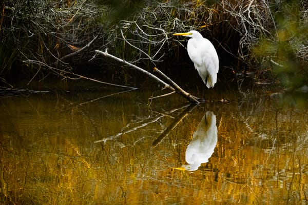 Great White Egret Photography Art | Cooper Captures Gallery