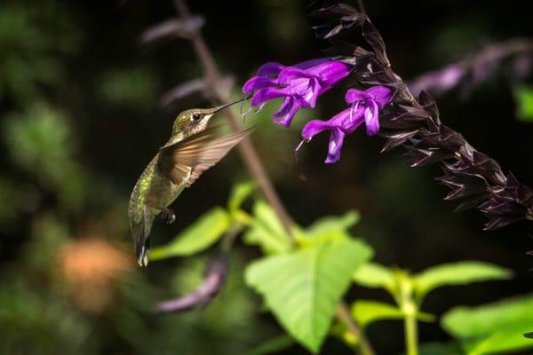 Hummingbird On Salvia Photography Art   Cooper Captures Gallery