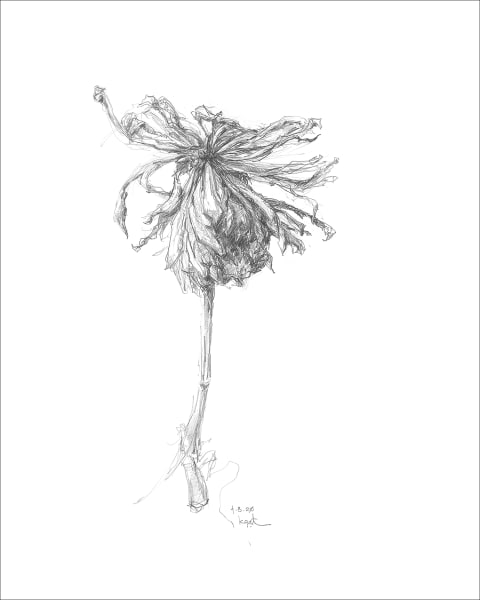 Chrysanthemum 01, a frazzled series for frazzled times. Graphite drawings by Kim Gatesman.