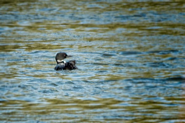 Grebes & Loons