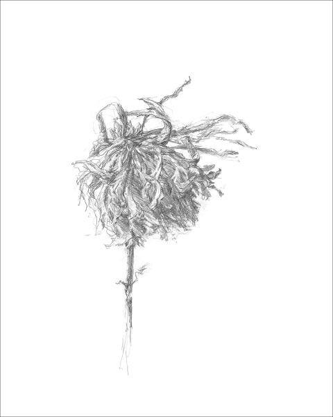 Chrysanthemum 02, a frazzled series for frazzled times. Graphite drawings by Kim Gatesman.