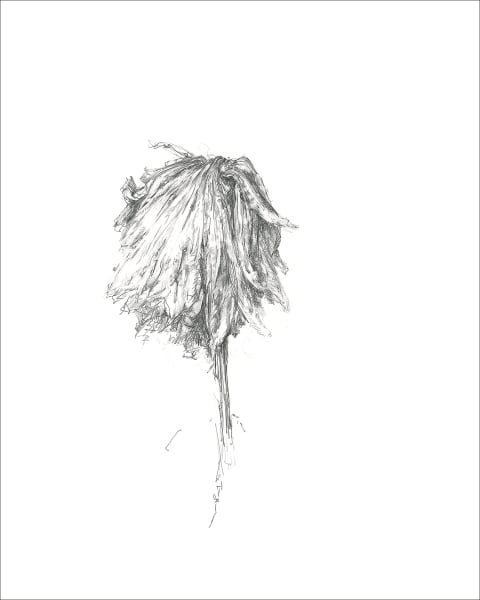 Chrysanthemum 03, a frazzled series for frazzled times. Graphite drawings by Kim Gatesman.