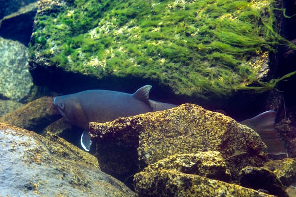Bull Trout  Crop # 6878 Photography Art | Mary Edwards Photography