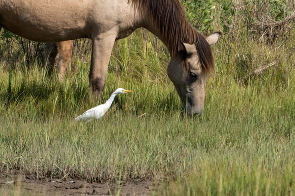 Snowy & Cattle Egrets