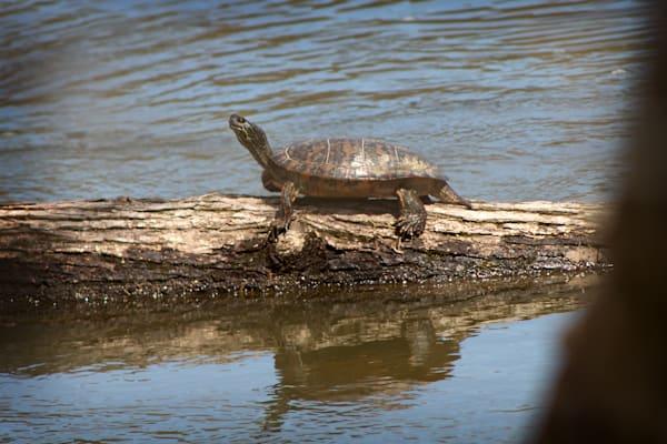 Turtles & Crustaceans