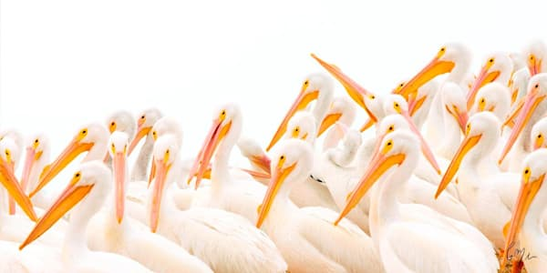 Constance Mier Photography from a canoe captures Florida's white pelicans in fine art style