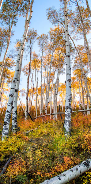 Among The Aspens Photography Art | Colorado Born Images