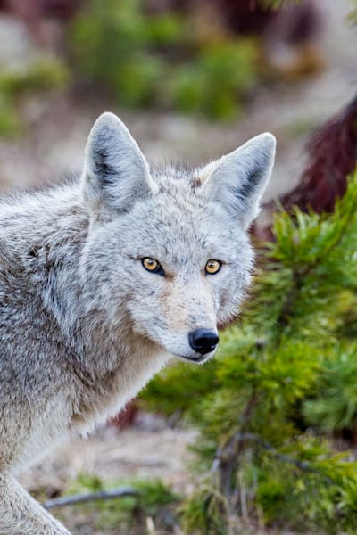 Coyote Glance Photography Art | Colorado Born Images