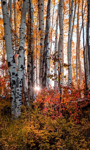 Aspen Morning Photography Art | Colorado Born Images