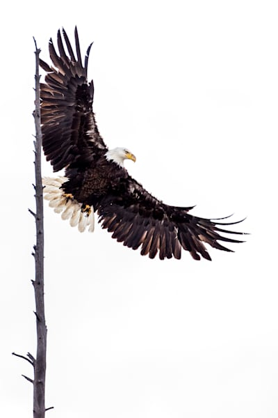 Bald Eagle Lift Off  Photography Art | Colorado Born Images