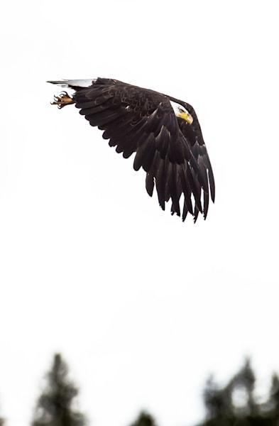 Bald Eagle Dive Photography Art | Colorado Born Images