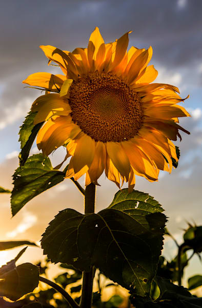 Sunflowers Goodnight Photography Art | Colorado Born Images