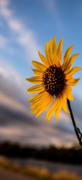 Summer Sunflower Photography Art   Colorado Born Images