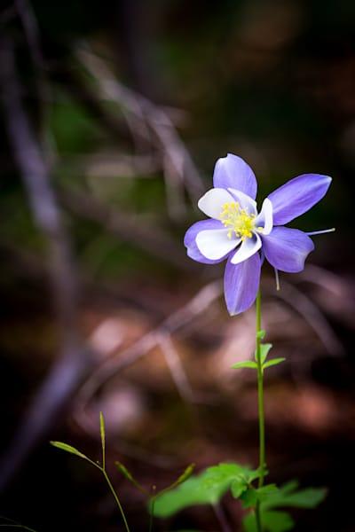 Colorado Columbine Photography Art | Colorado Born Images