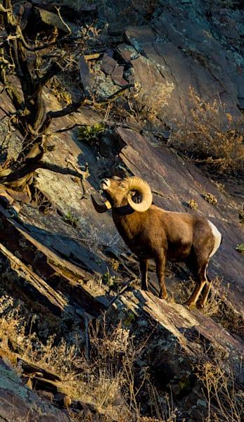 Big Horn Sheep Ram The Emperor  Photography Art | Colorado Born Images